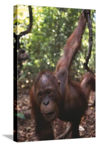 Orangutan in Forest-DLILLC-Stretched Canvas Print