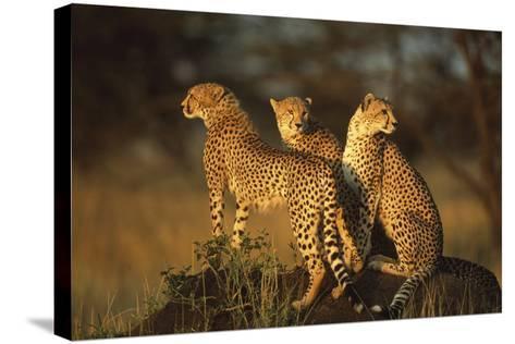 Three Cheetahs on Termite Mound-DLILLC-Stretched Canvas Print