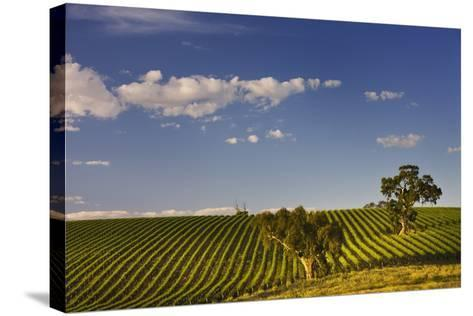 Eucalyptus Trees amongst Grapevines in the Barossa Valley-Jon Hicks-Stretched Canvas Print