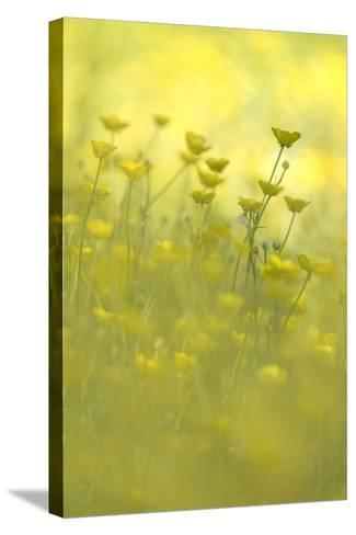 Early Morning Meadow-Kathleen Clemons-Stretched Canvas Print