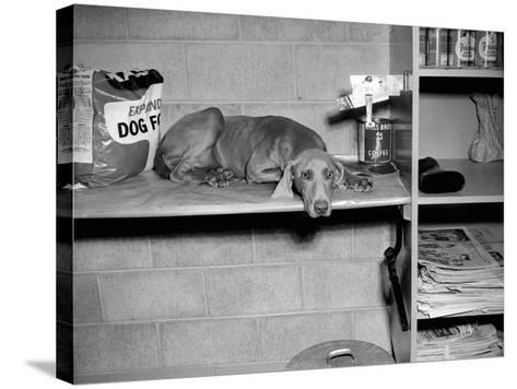 Dog Sits on a Shelf at Shelter in Oakland, California, Ca. 1963.-Kirn Vintage Stock-Stretched Canvas Print