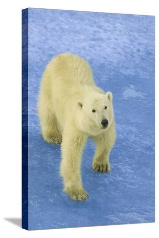 Polar Bear Looking Up-DLILLC-Stretched Canvas Print