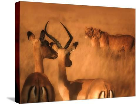 Impalas and Lionesses-DLILLC-Stretched Canvas Print