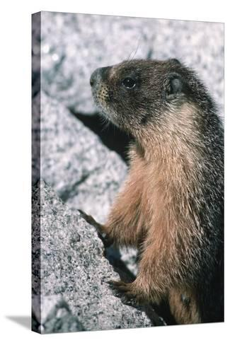 Yellow-Bellied Marmot-George D Lepp-Stretched Canvas Print