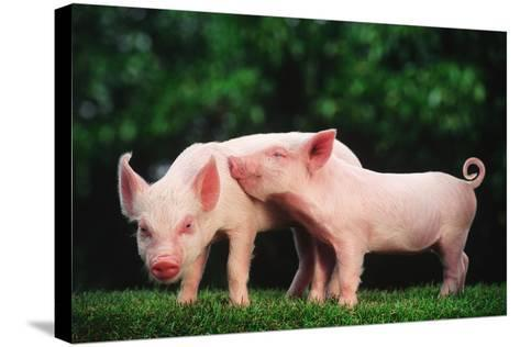 Two Affectionate Piglets-DLILLC-Stretched Canvas Print