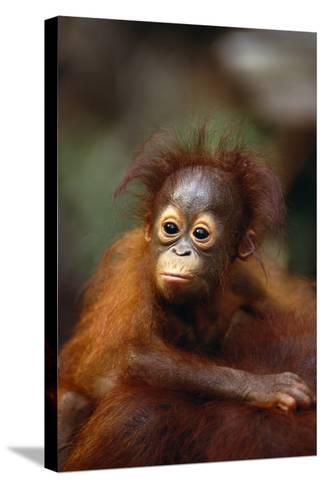 Baby Orangutan Clinging to Mother's Back-DLILLC-Stretched Canvas Print