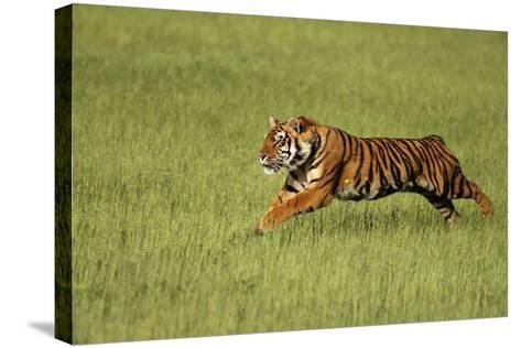 Bengal Tiger Running in Field-DLILLC-Stretched Canvas Print