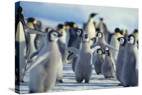 Penguin Chicks Stretching Wings-DLILLC-Stretched Canvas Print