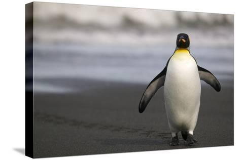King Penguin Walking on Sand-DLILLC-Stretched Canvas Print
