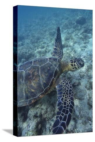 Green Sea Turtle Swimming in Ocean-DLILLC-Stretched Canvas Print