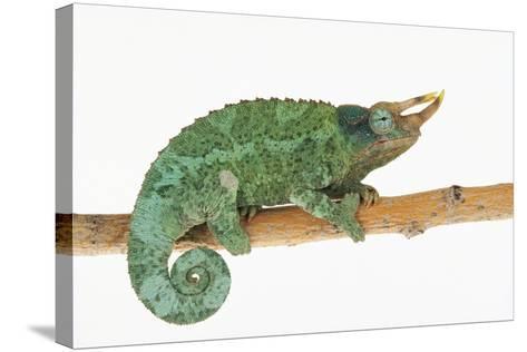 Jackson's Chameleon-DLILLC-Stretched Canvas Print