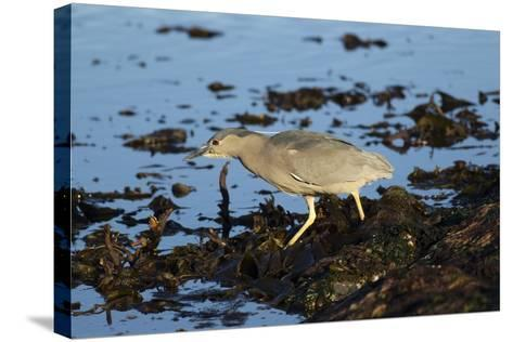 Black-Crowned Night Heron-Mary Ann McDonald-Stretched Canvas Print