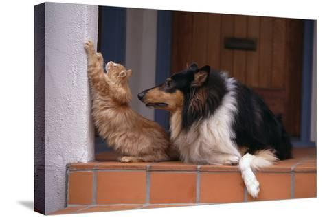 Collie Watching Cat Scratch Wall-DLILLC-Stretched Canvas Print
