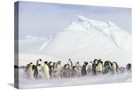 Penguins in Blowing Snow-DLILLC-Stretched Canvas Print