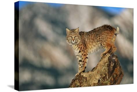 Bobcat Perched on Rock-DLILLC-Stretched Canvas Print