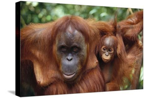 Mother and Young Orangutan-DLILLC-Stretched Canvas Print