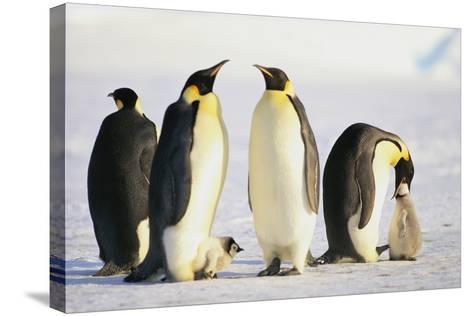 Group of Penguins-DLILLC-Stretched Canvas Print