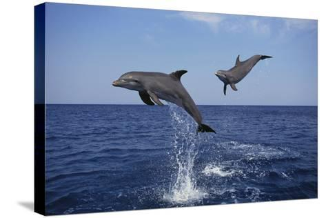 Bottlenosed Dolphins in Caribbean Sea-DLILLC-Stretched Canvas Print