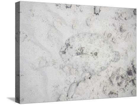 Camouflaged Fish-DLILLC-Stretched Canvas Print