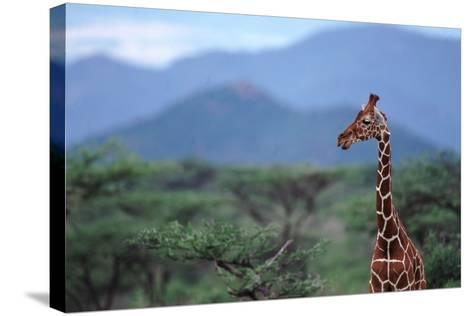 Reticulated Giraffe - Kenya-DLILLC-Stretched Canvas Print