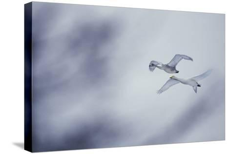 Flying Whooper Swans-DLILLC-Stretched Canvas Print