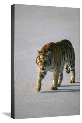 Siberian Tiger Walking on Snow-DLILLC-Stretched Canvas Print