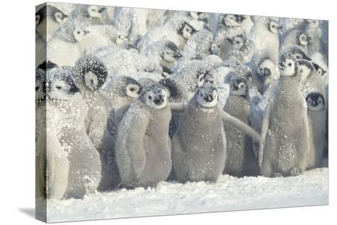 Penguin Chicks Exposed in Snow-DLILLC-Stretched Canvas Print