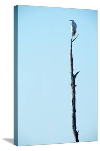 White Egret on Tall Snag-Paul Souders-Stretched Canvas Print