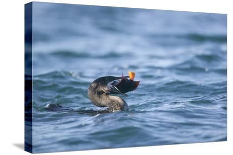 Flightless Cormorant Eating a King Angelfish-DLILLC-Stretched Canvas Print