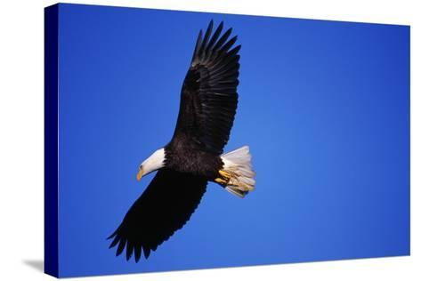 Bald Eagle Hunts, Nova Scotia-Paul Souders-Stretched Canvas Print