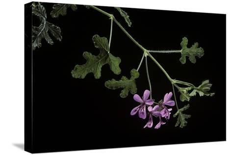 Pelargonium Quercifolium (Oakleaf Geranium)-Paul Starosta-Stretched Canvas Print