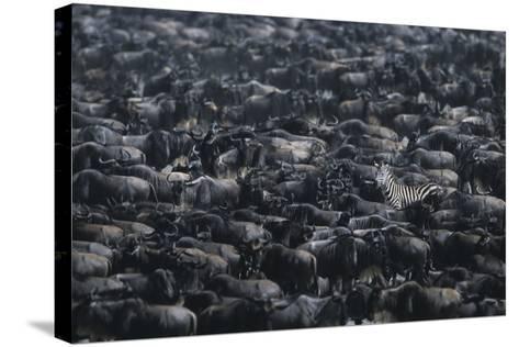 Zebra among Wildebeest Herd-DLILLC-Stretched Canvas Print