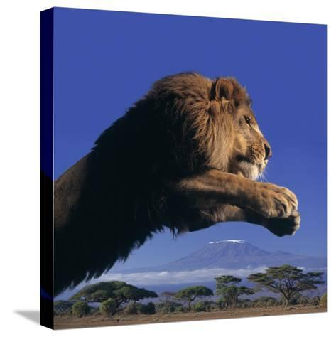 Leaping Male Lion-DLILLC-Stretched Canvas Print