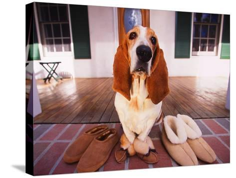Basset Hound Waiting on Porch in Slippers-DLILLC-Stretched Canvas Print
