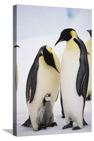 Chick between Adult Emperor Penguin-DLILLC-Stretched Canvas Print