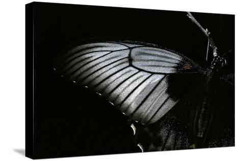 Papilio Lowi (Great Yellow Swallowtail, Asian Swallowtail) - Wings Detail-Paul Starosta-Stretched Canvas Print