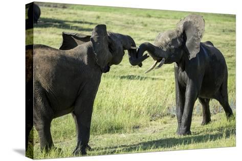 Elephants Fighting, Chobe National Park, Botswana-Paul Souders-Stretched Canvas Print