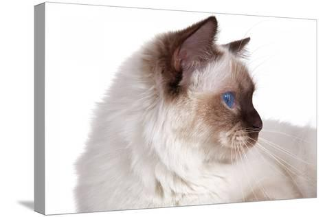 Sacred Cat of Burma-Fabio Petroni-Stretched Canvas Print