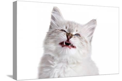 Siberian Cat-Fabio Petroni-Stretched Canvas Print