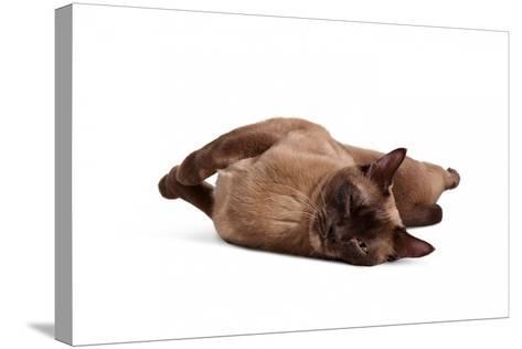 Burmese Cat-Fabio Petroni-Stretched Canvas Print