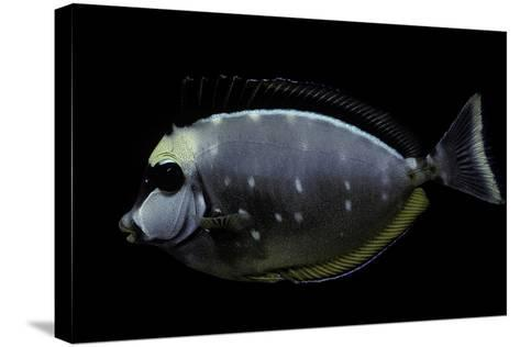 Naso Lituratus (Orangespine Unicornfish, Barcheek Unicornfish, Clown Tang)-Paul Starosta-Stretched Canvas Print