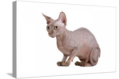 Sphinx Cat-Fabio Petroni-Stretched Canvas Print