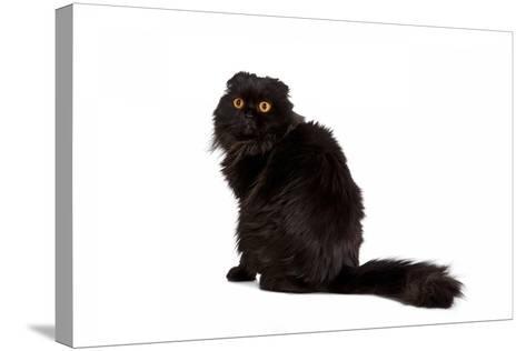 Highland Folt Cat-Fabio Petroni-Stretched Canvas Print