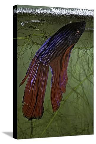 Betta Splendens (Siamese Fighting Fish) - Male Building its Bubble Nest-Paul Starosta-Stretched Canvas Print