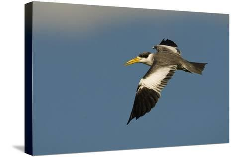 Large-Billed Tern-Joe McDonald-Stretched Canvas Print