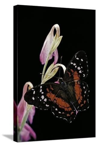 Anartia Amathea (Brown Peacock, Scarlet Peacock)-Paul Starosta-Stretched Canvas Print