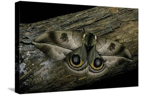 Automeris Harrisorum (Moth)-Paul Starosta-Stretched Canvas Print