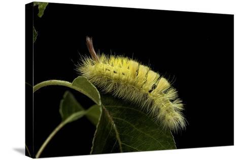 Calliteara Pudibunda (Pale Tussock Moth, Red Tail Moth) - Caterpillar-Paul Starosta-Stretched Canvas Print