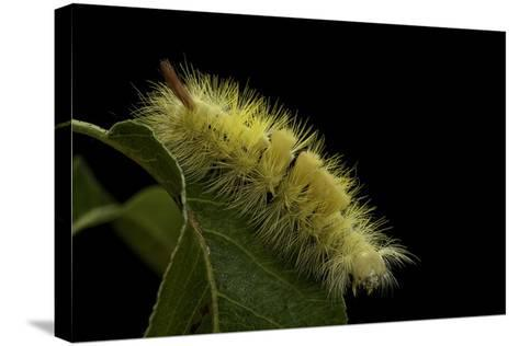 Calliteara Pudibunda (Pale Tussock Moth, Red Tail Moth) - Caterpillar-Paul Starosta-Stretched Canvas Print