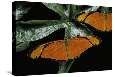 Dryas Julia (Julia Butterfly, the Flame)-Paul Starosta-Stretched Canvas Print